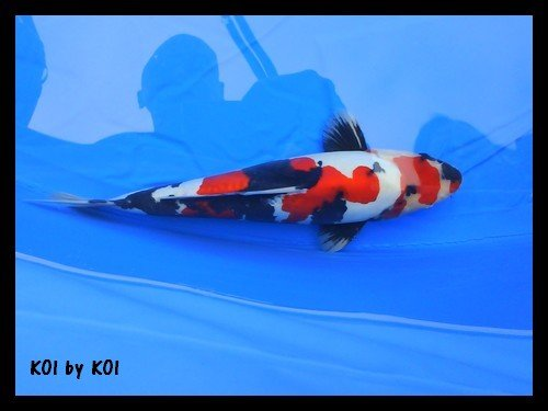 Koi by koi showa for Carpe koi belgique