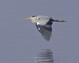 heron vol